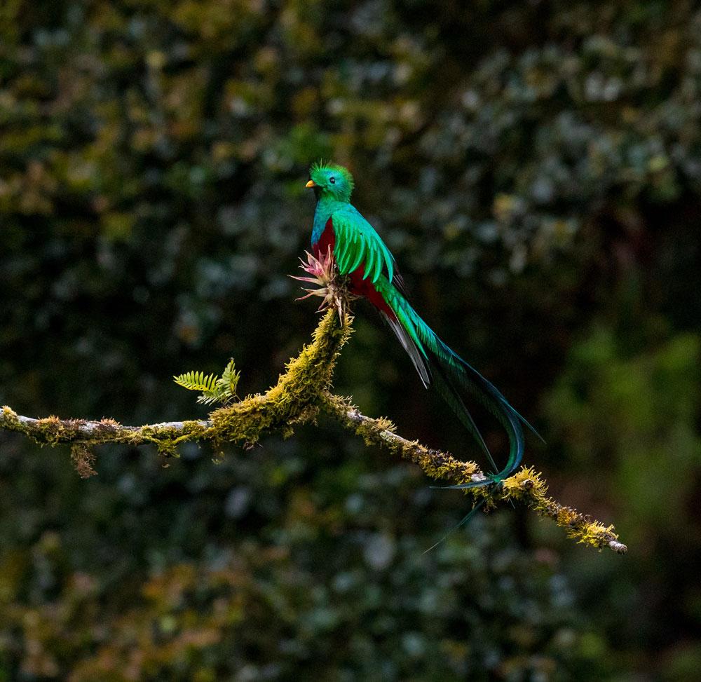 Quetzal en una rama